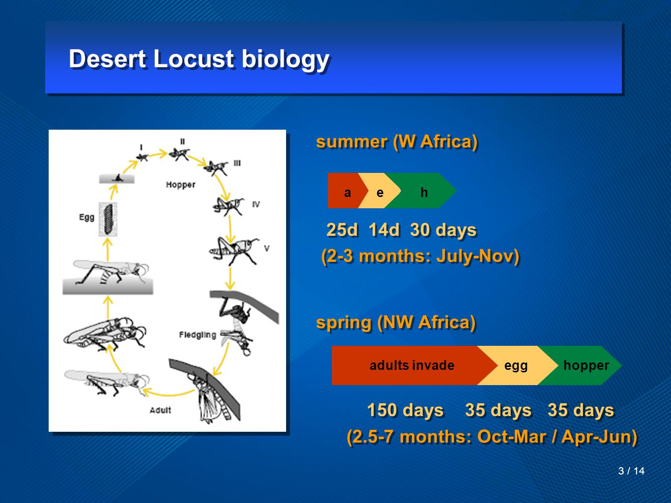 Desert Locust biology 3 / 14 summer (W Africa) 25d 14d 30 days (2-3 months: July-Nov) spring (NW Africa) 150 days 35 days 35 days (2.5-7 months: Oct-Mar / Apr-Jun) summer (W Africa) 25d 14d 30 days (2-3 months: July-Nov) spring (NW Africa) 150 days 35 days 35 days (2.5-7 months: Oct-Mar / Apr-Jun) adults invade egg hopper a e h