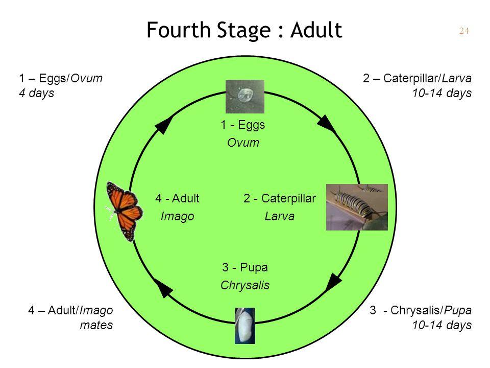 24 Fourth Stage : Adult 1 - Eggs Ovum 2 - Caterpillar Larva 3 - Pupa Chrysalis 4 - Adult Imago 2 – Caterpillar/Larva 10-14 days 1 – Eggs/Ovum 4 days 4 – Adult/Imago mates 3 - Chrysalis/Pupa 10-14 days