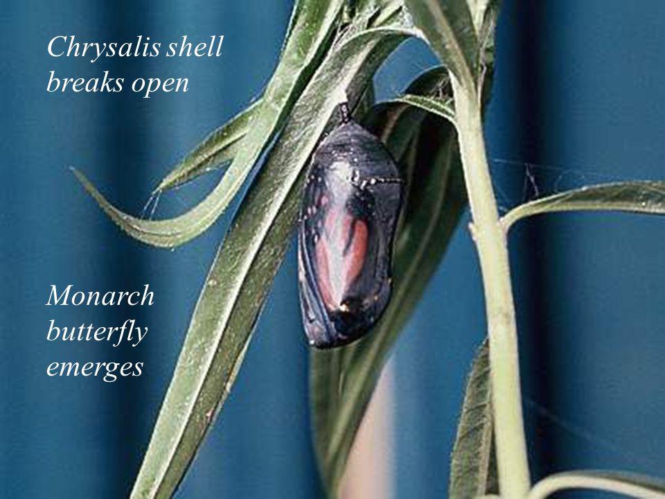 25 Chrysalis shell breaks open Monarch butterfly emerges