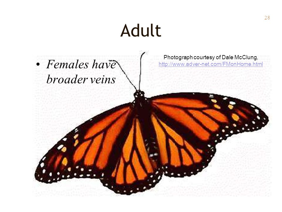 28 Females have broader veins Adult Photograph courtesy of Dale McClung, http://www.adver-net.com/FMonHome.html http://www.adver-net.com/FMonHome.html