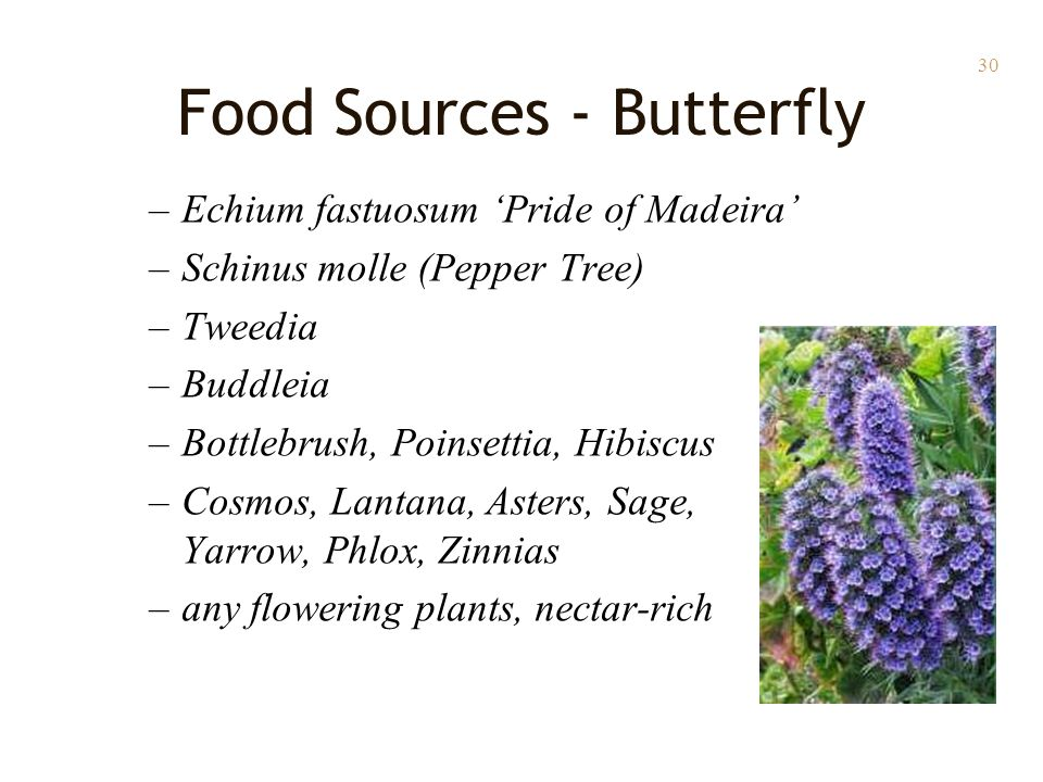 30 Food Sources - Butterfly –Echium fastuosum 'Pride of Madeira' –Schinus molle (Pepper Tree) –Tweedia –Buddleia –Bottlebrush, Poinsettia, Hibiscus –Cosmos, Lantana, Asters, Sage, Yarrow, Phlox, Zinnias –any flowering plants, nectar-rich