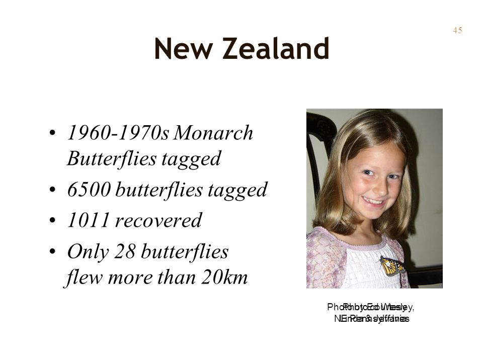 45 New Zealand 1960-1970s Monarch Butterflies tagged 6500 butterflies tagged 1011 recovered Only 28 butterflies flew more than 20km Photo by Ed Wesley, NE Pennsylvania Photo courtesy Linda & Jeff Ives