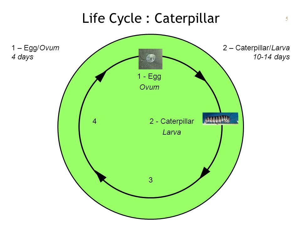 5 Life Cycle : Caterpillar 1 - Egg Ovum 2 - Caterpillar Larva 3 4 2 – Caterpillar/Larva 10-14 days 1 – Egg/Ovum 4 days