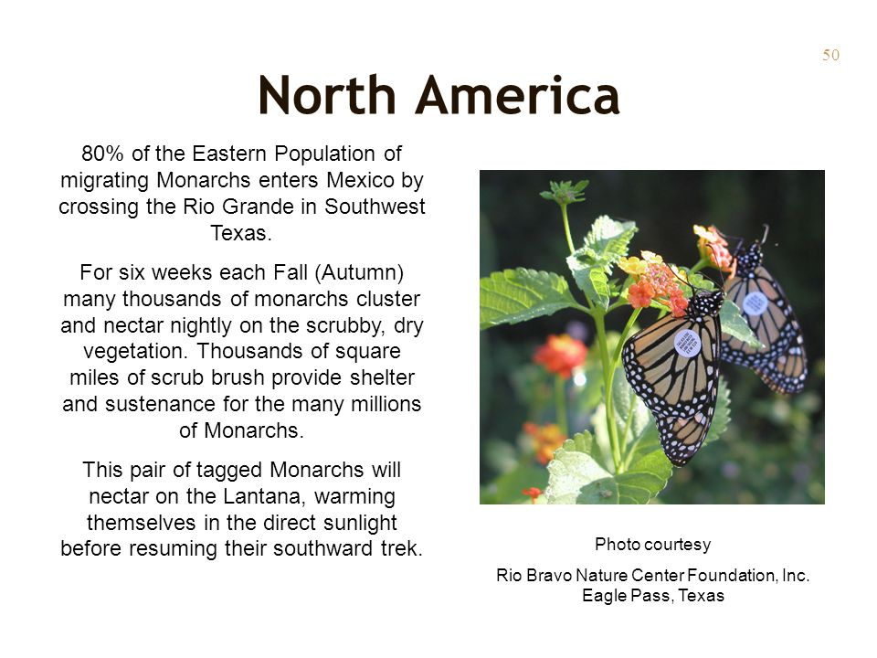 50 North America 80% of the Eastern Population of migrating Monarchs enters Mexico by crossing the Rio Grande in Southwest Texas. For six weeks each F