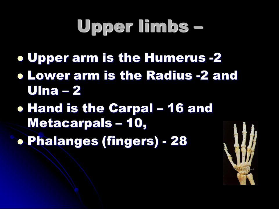 Pectoral Girdle – Scapula -2 (shoulder blade) and Clavicle -2 (collar bone) Scapula -2 (shoulder blade) and Clavicle -2 (collar bone)