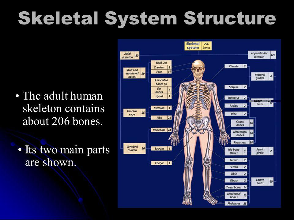 Skeletal System Total of 206 bones Total of 206 bones framework, hard, rigid framework, hard, rigid