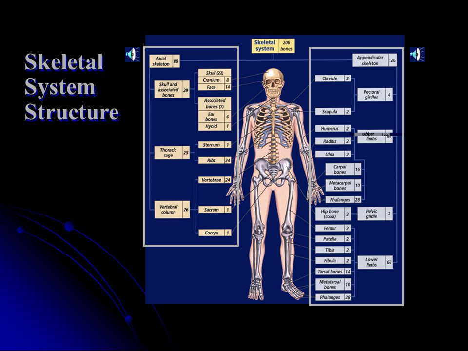 The adult human skeleton contains about 206 bones.