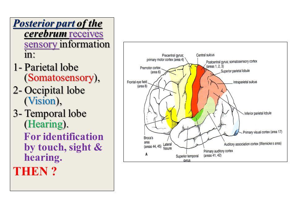 Posterior part of the cerebrum receives sensory information in: 1- Parietal lobe (Somatosensory), 2- Occipital lobe (Vision), 3- Temporal lobe (Hearing).