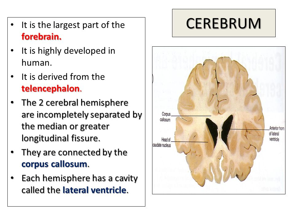 CEREBRUM forebrain. It is the largest part of the forebrain. It is highly developed in human. telencephalon. It is derived from the telencephalon. The
