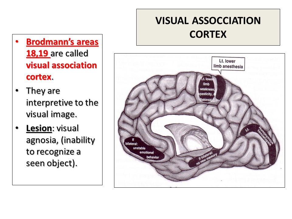 VISUAL ASSOCCIATION CORTEX Brodmann's areas 18,19 are called visual association cortex.