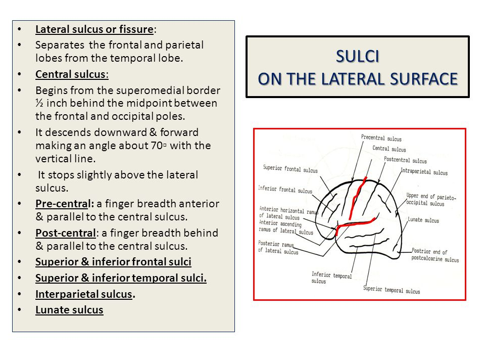 SULCI ON THE LATERAL SURFACE Lateral sulcus or fissure: Separates the frontal and parietal lobes from the temporal lobe. Central sulcus: Begins from t