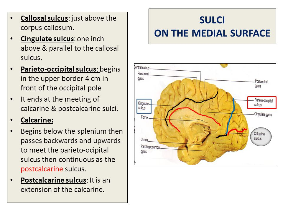 SULCI ON THE MEDIAL SURFACE Callosal sulcus: just above the corpus callosum. Cingulate sulcus: one inch above & parallel to the callosal sulcus. Parie