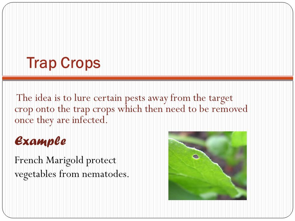 Trap Crops The idea is to lure certain pests away from the target crop onto the trap crops which then need to be removed once they are infected. Examp
