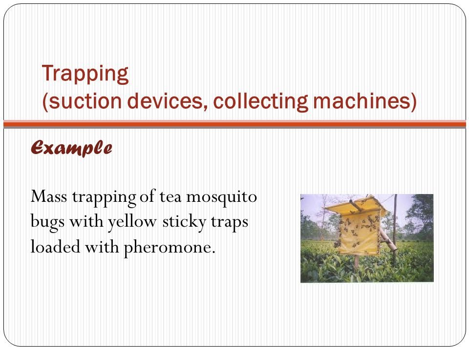 Trapping (suction devices, collecting machines) Example Mass trapping of tea mosquito bugs with yellow sticky traps loaded with pheromone.