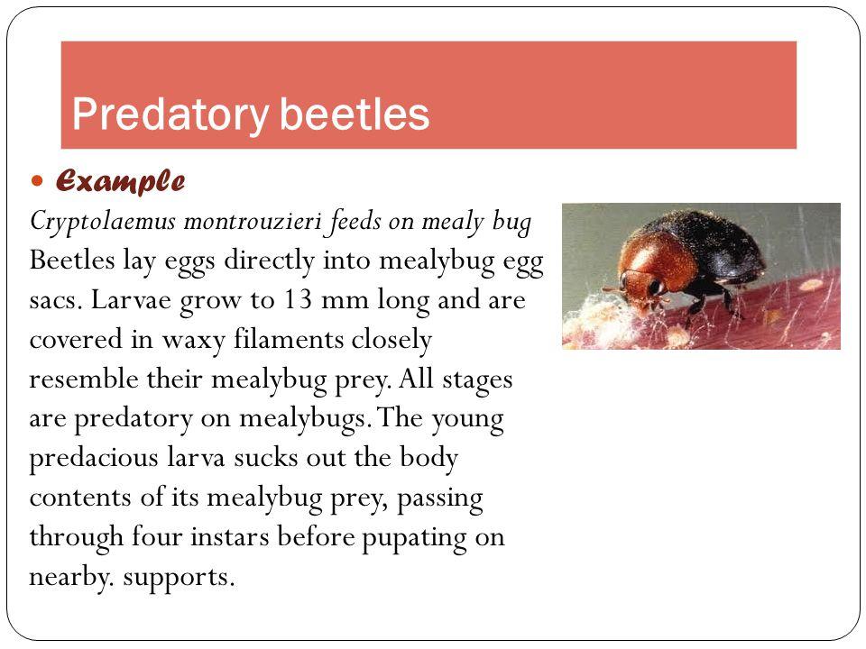 Predatory beetles Example Cryptolaemus montrouzieri feeds on mealy bug Beetles lay eggs directly into mealybug egg sacs. Larvae grow to 13 mm long and