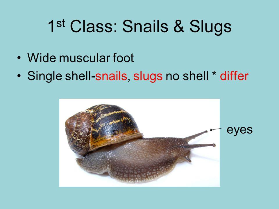 1 st Class: Snails & Slugs Wide muscular foot Single shell-snails, slugs no shell * differ eyes