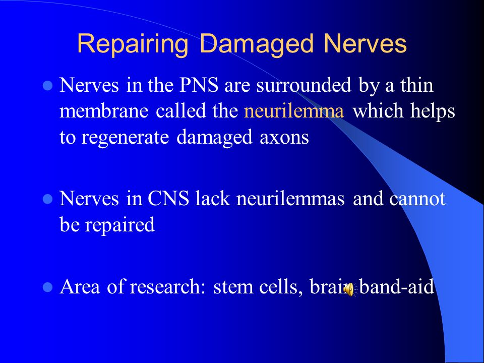 Repairing Damaged Nerves Nerves in the PNS are surrounded by a thin membrane called the neurilemma which helps to regenerate damaged axons Nerves in C