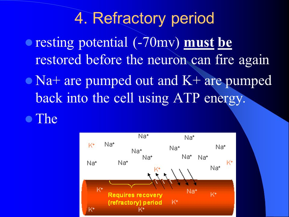4. Refractory period resting potential (-70mv) must be restored before the neuron can fire again Na+ are pumped out and K+ are pumped back into the ce