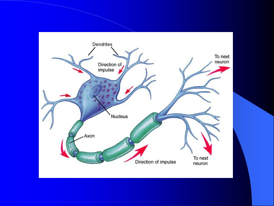Action Potential A nerve impulse is an action potential An action potential is an electrochemical event with a rapid change in polarity (relative electrical potential) down a nerve cell that results in the conduction of a nerve impulse.
