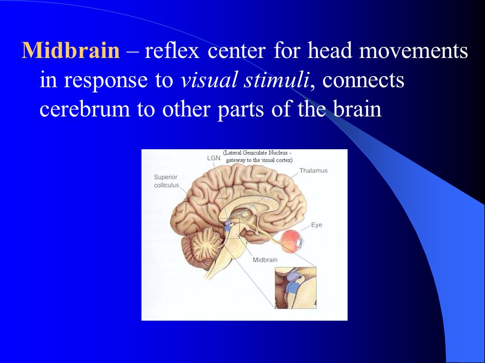 Midbrain – reflex center for head movements in response to visual stimuli, connects cerebrum to other parts of the brain