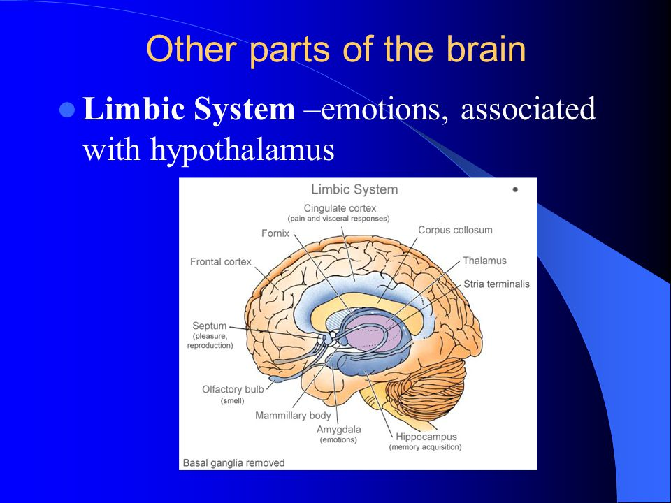Other parts of the brain Limbic System –emotions, associated with hypothalamus