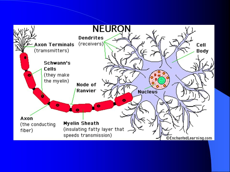 Intensity is determined by: 1.the number of neurons that fire simultaneously 2.