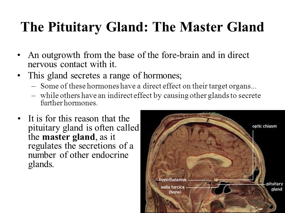 13 The Pituitary Gland: The Master Gland An outgrowth from the base of the fore-brain and in direct nervous contact with it. This gland secretes a ran