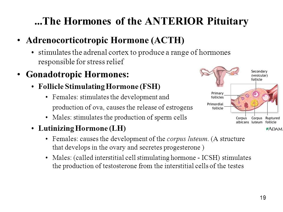 19 Adrenocorticotropic Hormone (ACTH) stimulates the adrenal cortex to produce a range of hormones responsible for stress relief Gonadotropic Hormones