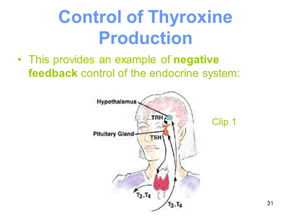 31 Control of Thyroxine Production This provides an example of negative feedback control of the endocrine system: Clip 1