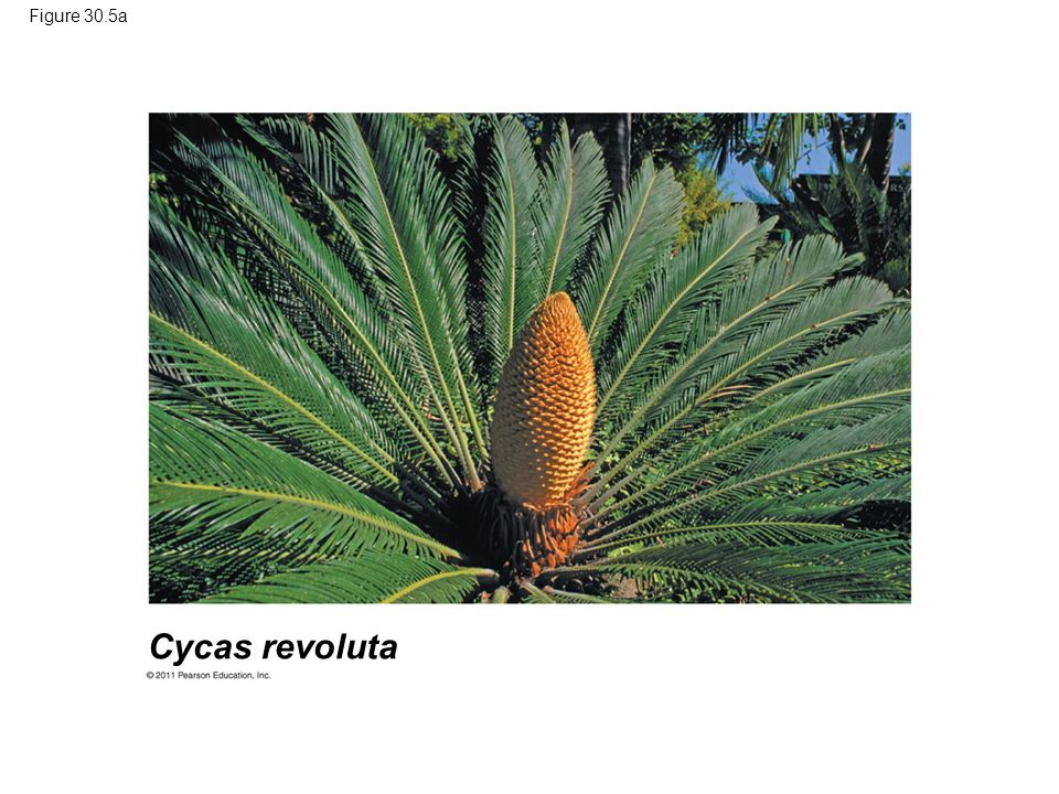 Figure 30.5a Cycas revoluta