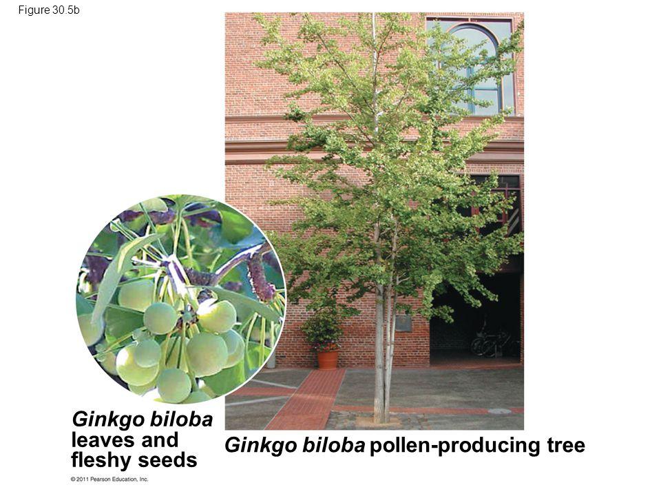 Ginkgo biloba leaves and fleshy seeds Ginkgo biloba pollen-producing tree Figure 30.5b