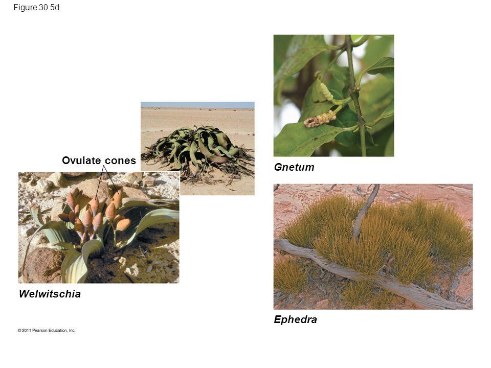 Figure 30.5d Ovulate cones Gnetum Ephedra Welwitschia