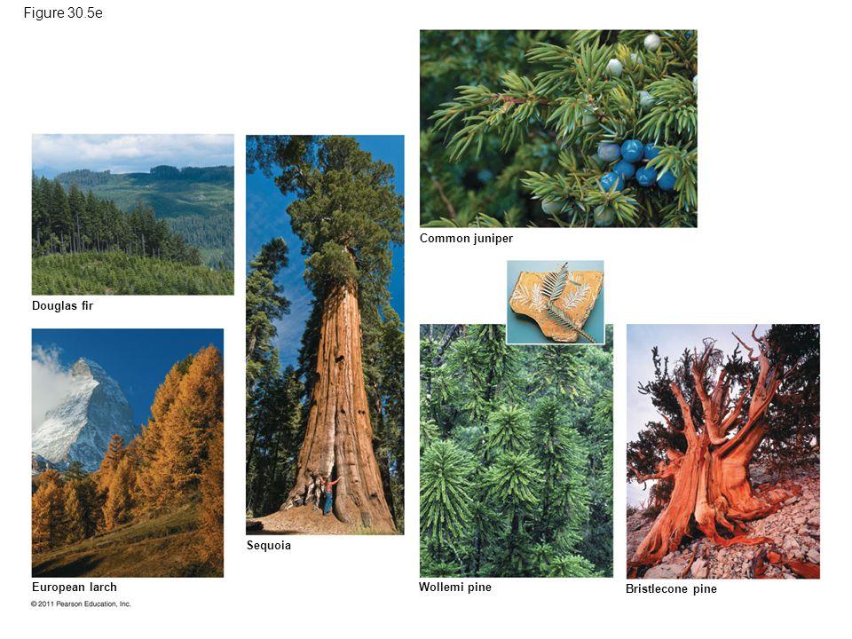 Figure 30.5e Douglas fir Common juniper European larch Sequoia Wollemi pine Bristlecone pine