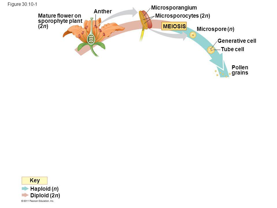 Anther Mature flower on sporophyte plant (2n) Pollen grains Tube cell Generative cell Microspore (n) MEIOSIS Microsporangium Microsporocytes (2n) Key Haploid (n) Diploid (2n) Figure 30.10-1