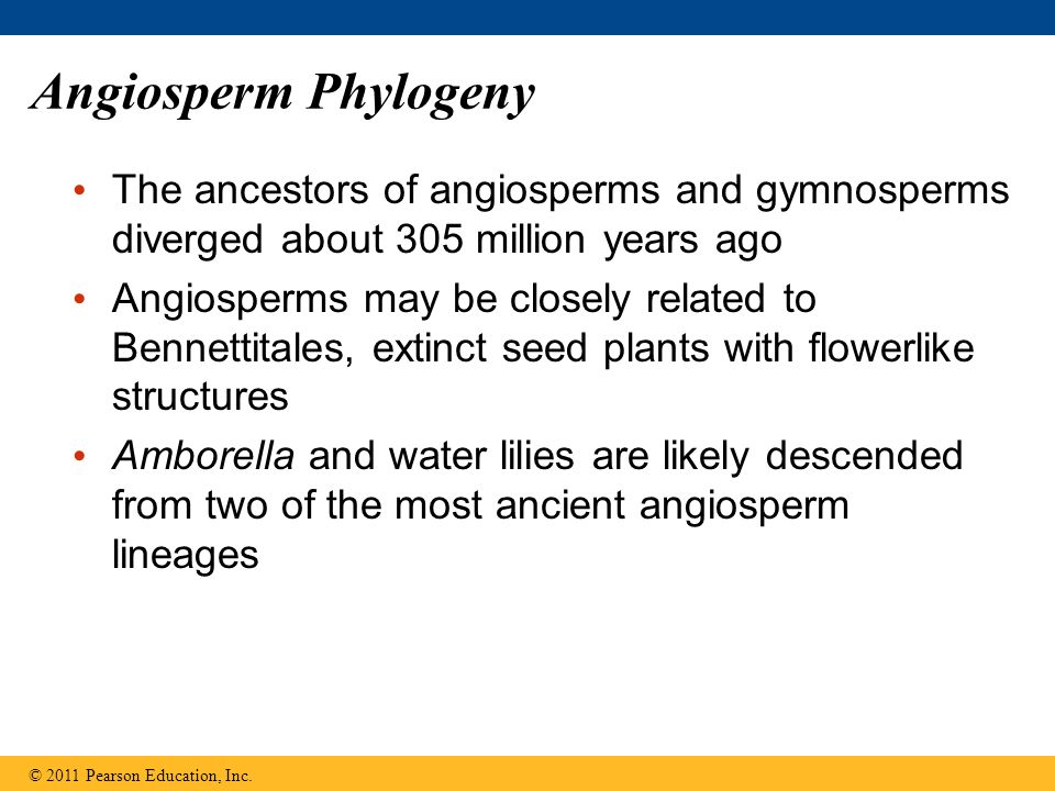 Angiosperm Phylogeny The ancestors of angiosperms and gymnosperms diverged about 305 million years ago Angiosperms may be closely related to Bennettit