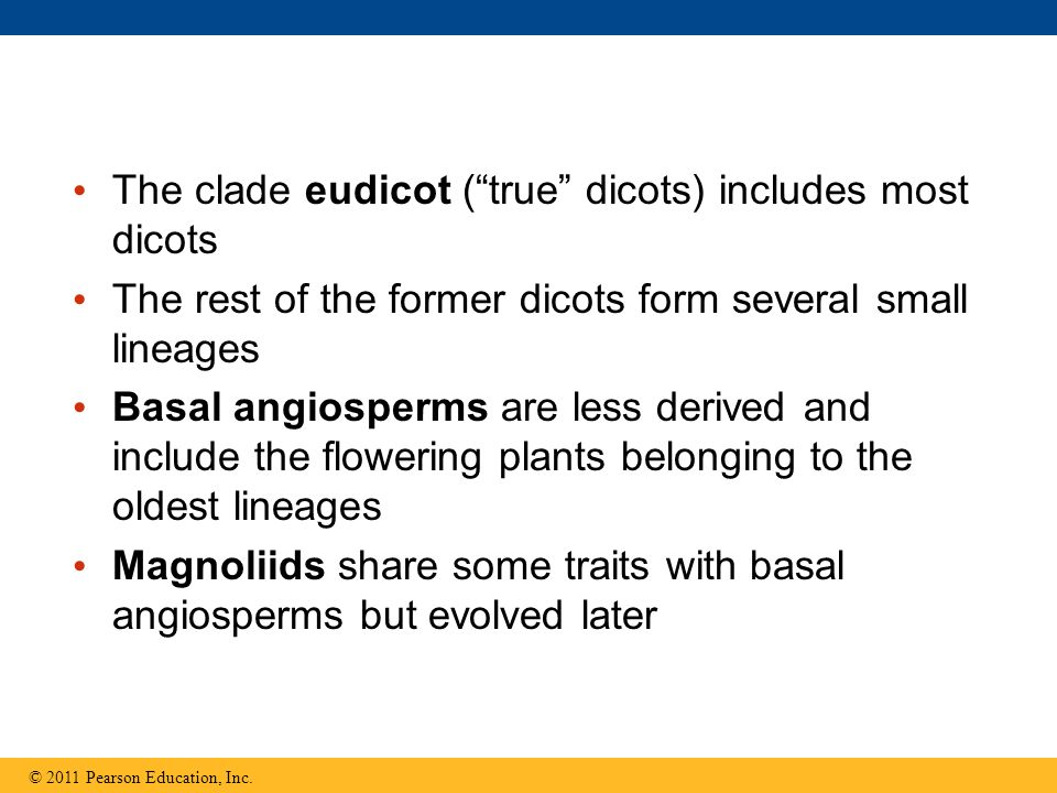 "The clade eudicot (""true"" dicots) includes most dicots The rest of the former dicots form several small lineages Basal angiosperms are less derived an"