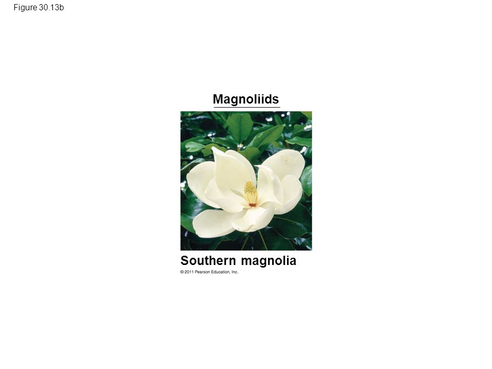 Figure 30.13b Magnoliids Southern magnolia