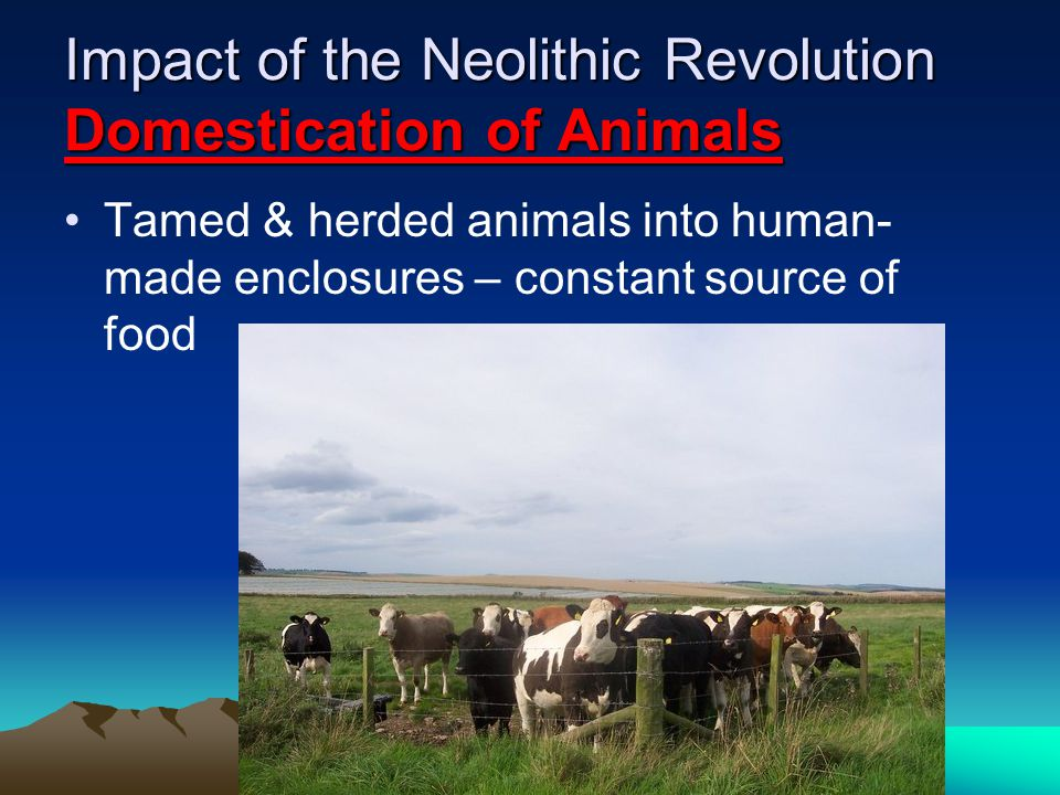 Impact of the Neolithic Revolution Domestication of Animals Tamed & herded animals into human- made enclosures – constant source of food