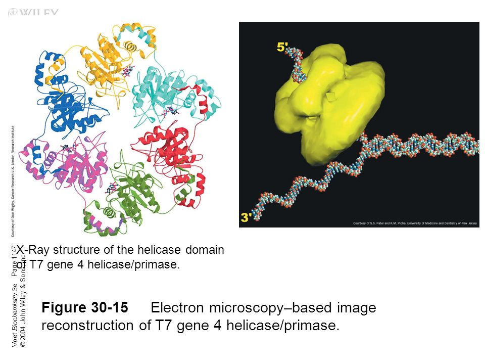 Voet Biochemistry 3e © 2004 John Wiley & Sons, Inc. Figure 30-15Electron microscopy–based image reconstruction of T7 gene 4 helicase/primase. Page 114