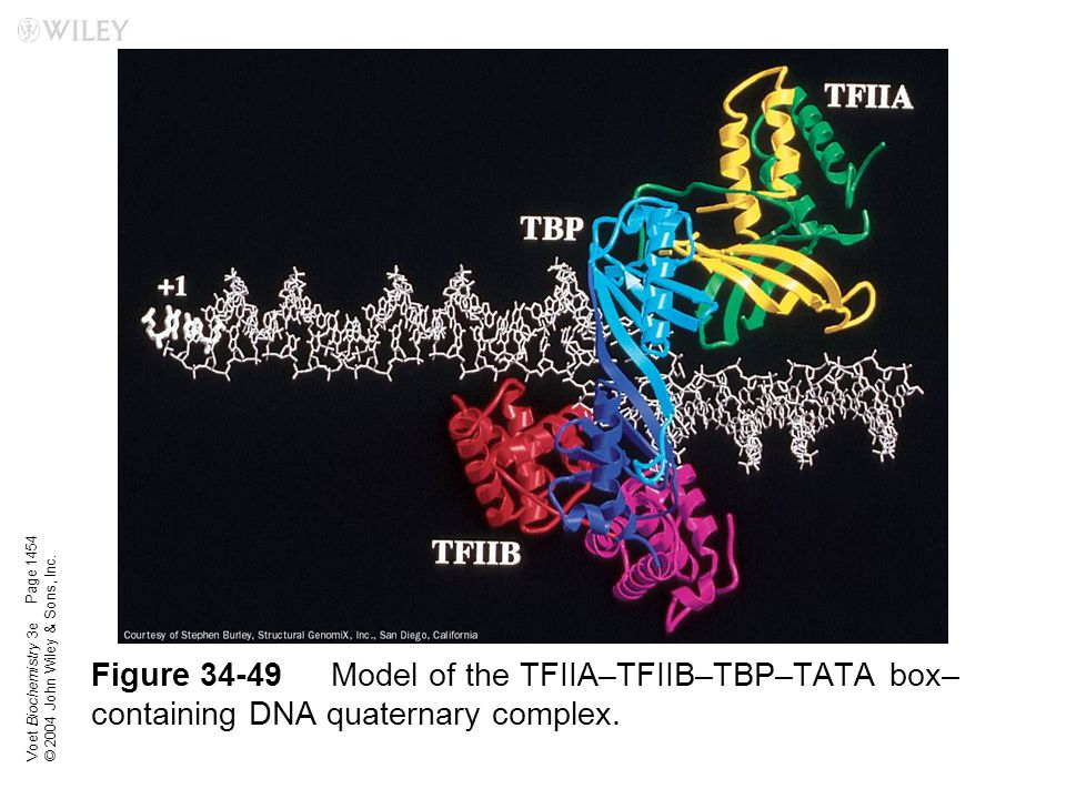 Voet Biochemistry 3e © 2004 John Wiley & Sons, Inc. Figure 34-49Model of the TFIIA–TFIIB–TBP–TATA box– containing DNA quaternary complex. Page 1454