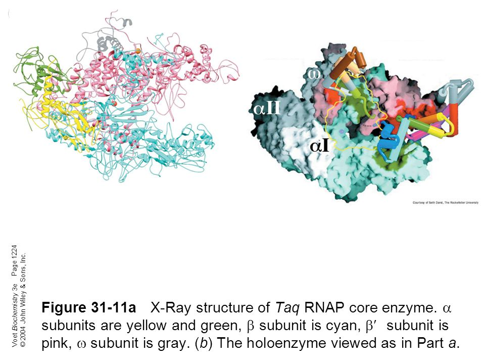 Voet Biochemistry 3e © 2004 John Wiley & Sons, Inc. Figure 31-11aX-Ray structure of Taq RNAP core enzyme.  subunits are yellow and green,  subunit i