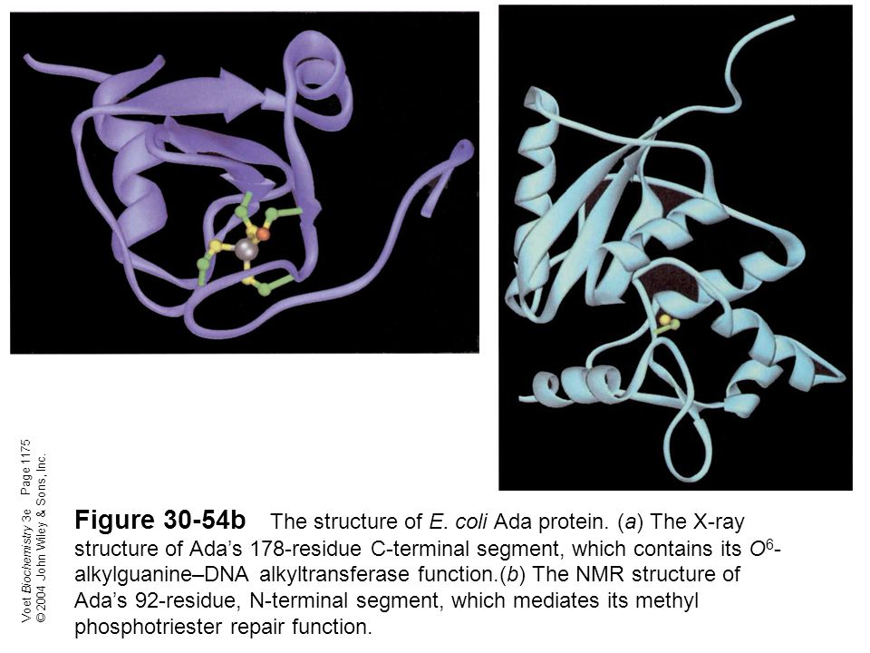 Voet Biochemistry 3e © 2004 John Wiley & Sons, Inc. Figure 30-54b The structure of E. coli Ada protein. (a) The X-ray structure of Ada's 178-residue C