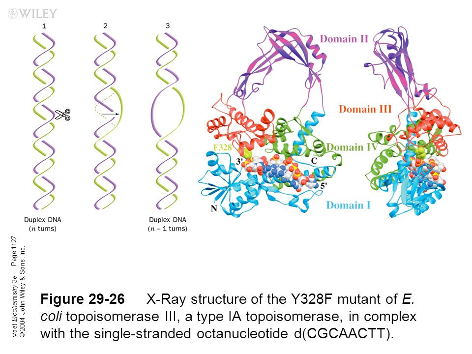 Voet Biochemistry 3e © 2004 John Wiley & Sons, Inc. Figure 29-26X-Ray structure of the Y328F mutant of E. coli topoisomerase III, a type IA topoisomer