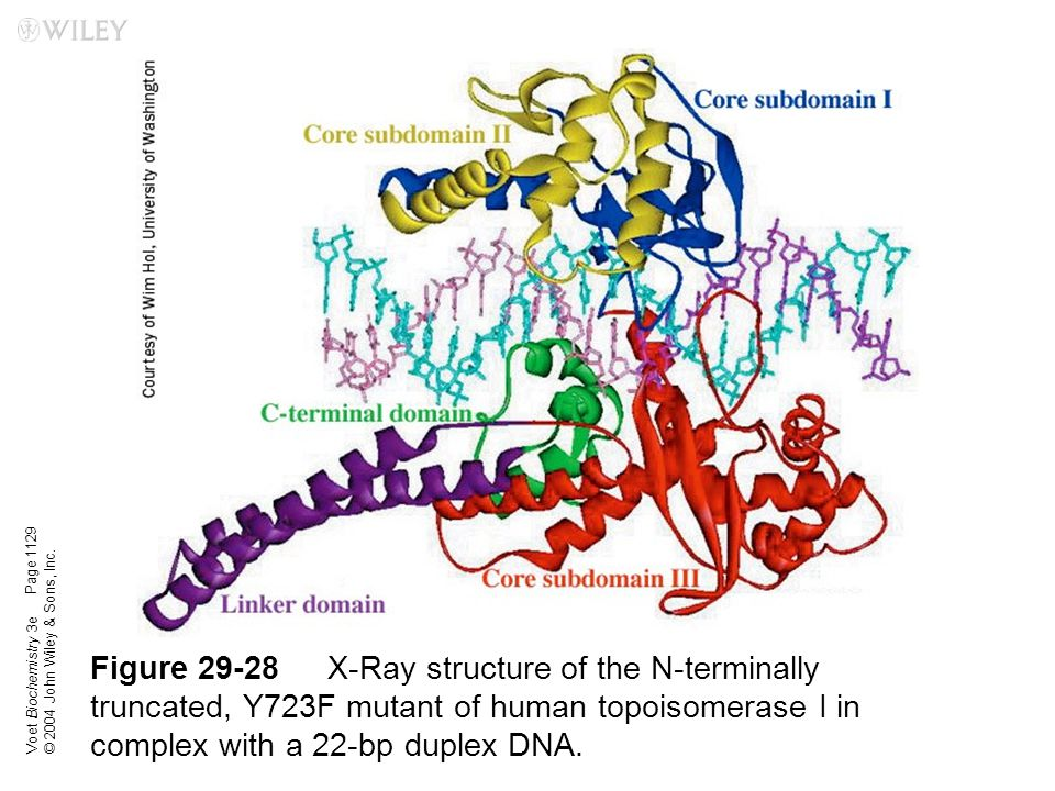 Voet Biochemistry 3e © 2004 John Wiley & Sons, Inc. Figure 29-28X-Ray structure of the N-terminally truncated, Y723F mutant of human topoisomerase I i