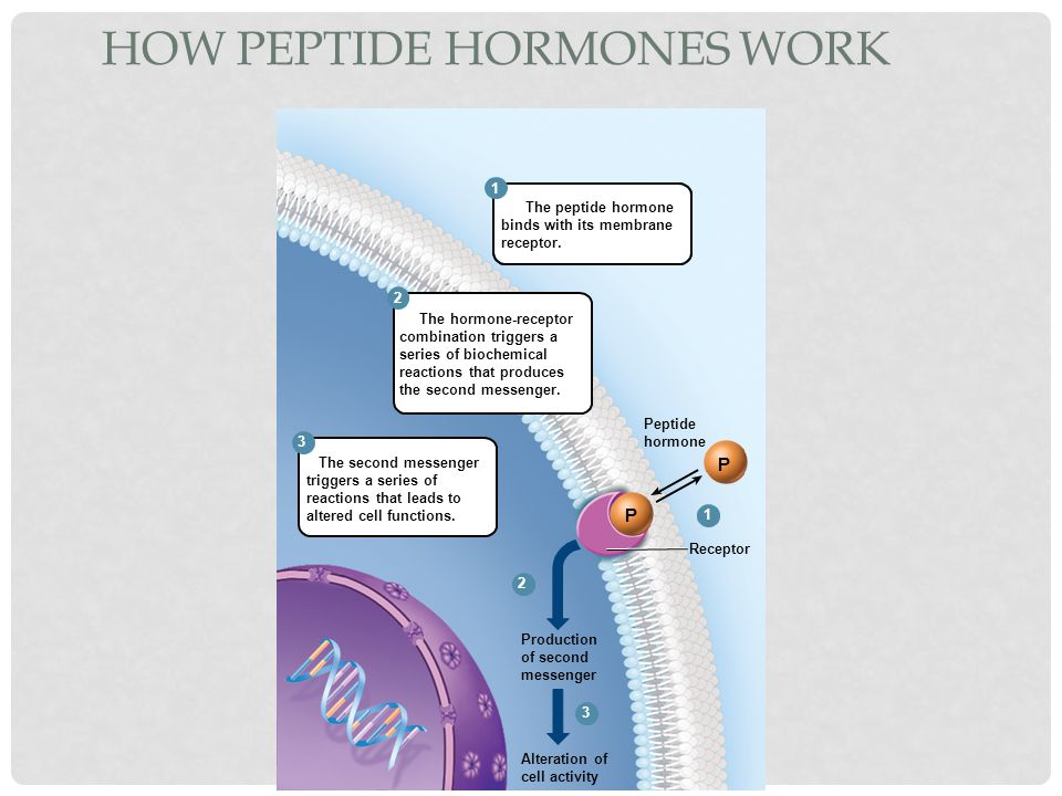 HOW PEPTIDE HORMONES WORK P P 2 3 1 2 3 1 The peptide hormone binds with its membrane receptor. The hormone-receptor combination triggers a series of