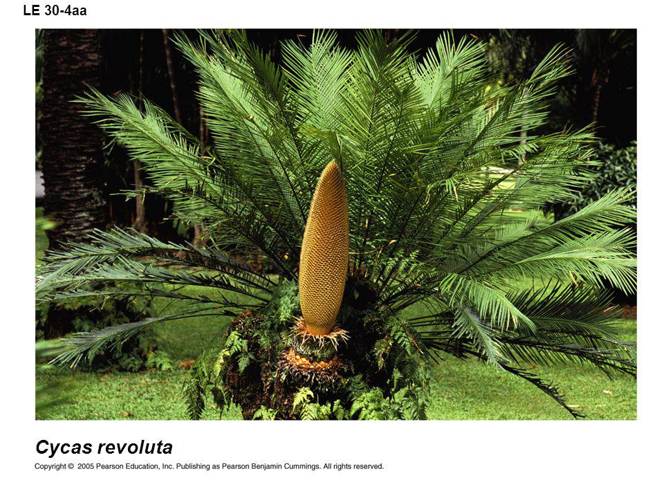 LE 30-4aa Cycas revoluta
