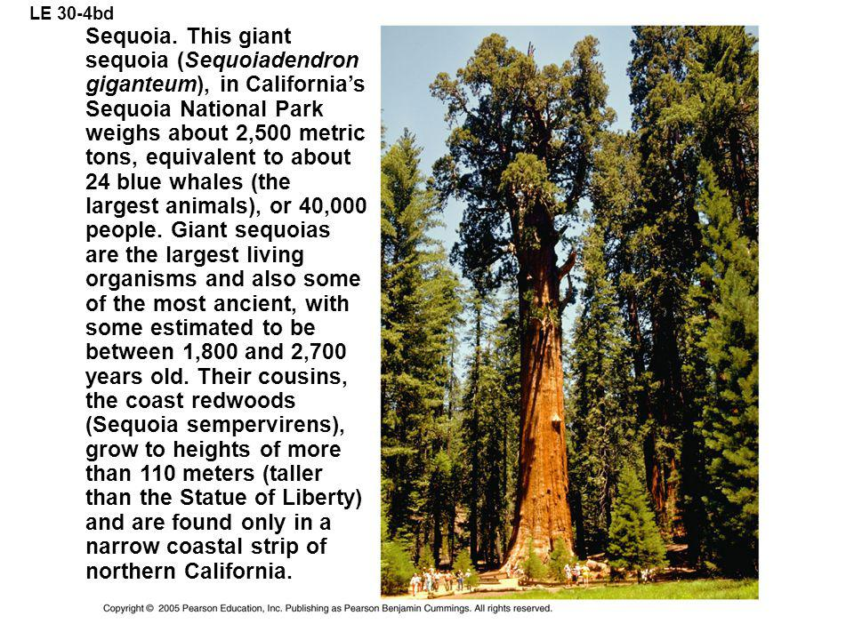 LE 30-4bd Sequoia. This giant sequoia (Sequoiadendron giganteum), in California's Sequoia National Park weighs about 2,500 metric tons, equivalent to