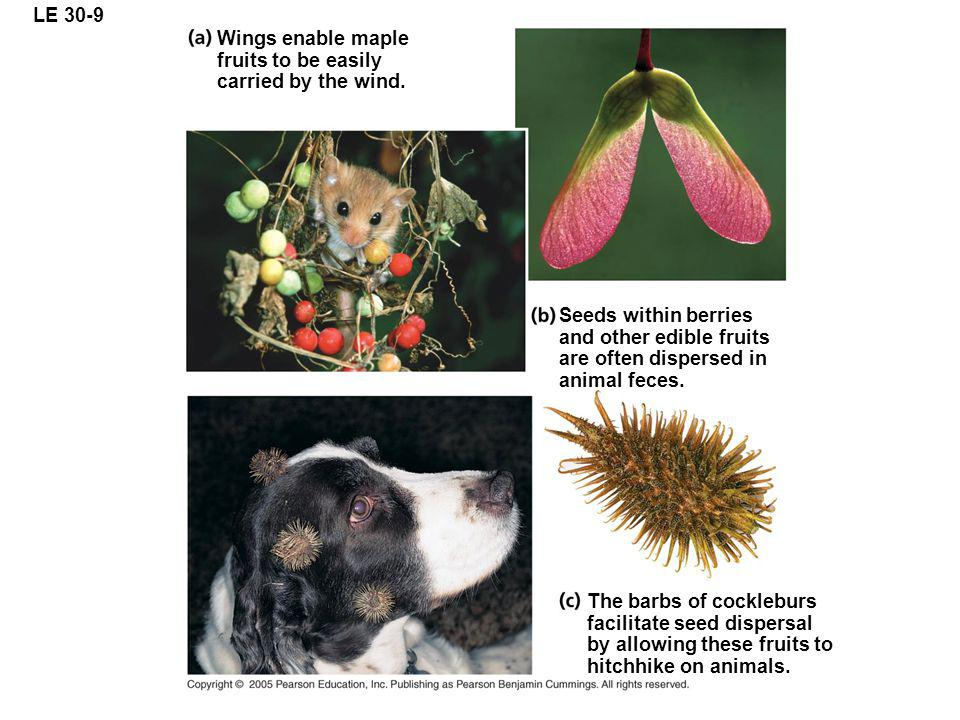 LE 30-9 Wings enable maple fruits to be easily carried by the wind. Seeds within berries and other edible fruits are often dispersed in animal feces.