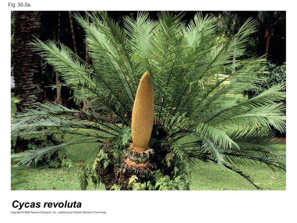 Fig. 30-5a Cycas revoluta