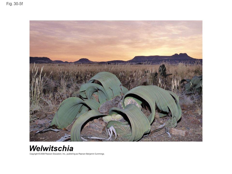 Fig. 30-5f Welwitschia